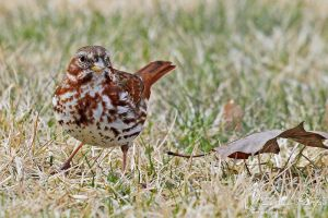 Fox Sparrow by mydigitalmind