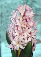 Hyacinth - scent of christmas by miss-gardener