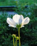 White Flower 2 by aaron5153