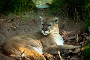 Mountain Lion by PhotoAlterations