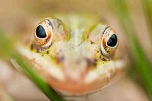 Froggy I by StineJ