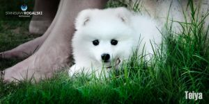 Teiya our Japanese Spitz by RaynePhotography