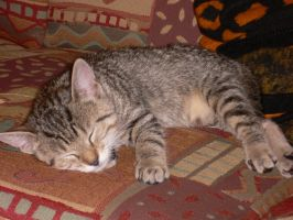 tiger cat is sleeping I by ChaosStocks