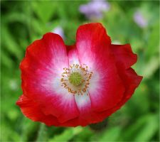 Red and White Poppy by Forestina-Fotos