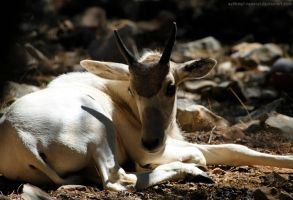 Little Addax by sekhmet-neseret
