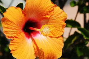 Aquarium Hibiscus I by LDFranklin