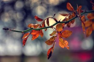 Amber leaves by ralucsernatoni