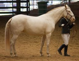 STOCK - 2014 Andalusian Nationals-193 by fillyrox