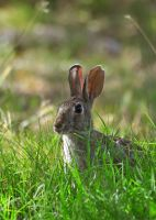 Cottontail 9023 by robbobert