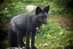 Wild Fox on 5ft from me by Witch-Dr-Tim