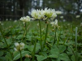 White Clover by Rainacornasusgirl