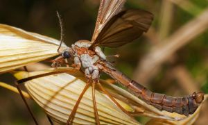 Daddy Long Legs Fly by mant01