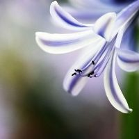 Agapanthus by meowing-snail