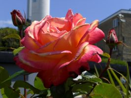English Rose by JustHaveToLoveIt
