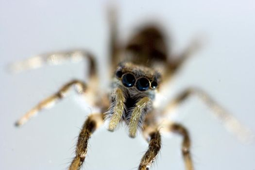 Zebra Spider by xTheseCityLights