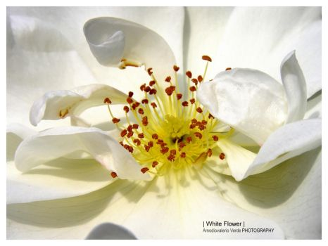 White flower by bupo