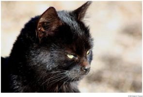 Profile of a Black Cat by hunter1828