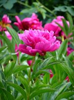 Peony by pinkal00