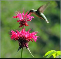 The Monarda and the Hummer by JocelyneR