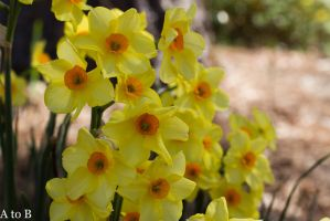 Jonquils by atbphotography