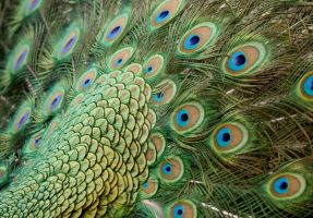 Peacock feathers- back and coverts by Sarah-Hann-photo