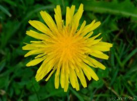 dandelion by ninas-photography