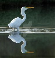 Glass Reflections 2 - Great White Egret by Jamie-MacArthur