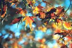 Japanese Maple Leaves by incolor16