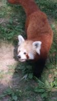 Leipziger Zoo The red panda by FeuersternFantasy