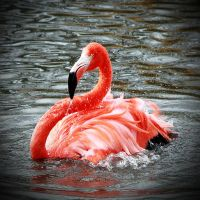 Slimbridge: flamingo bath by Coigach