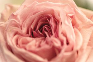 Vintage rose by Wonderer1000