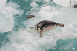 Seal on iceberg by gnohz