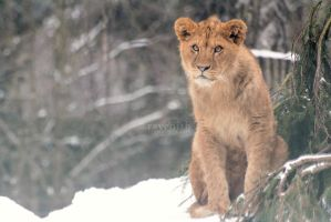 Lion cub. by Ravenith