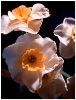 Narcissi macro by tea