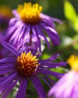 Aster by Spankreas