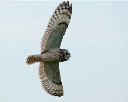 Short eared owl 2 by pixellence2