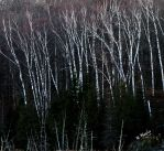 Birches by moratorian
