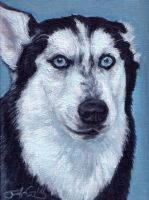 The Eyes of a Husky by greyviolett