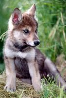 Wolf Pup by howiling-pain