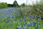 Bluebonnets and Yucca by ManitouWolf