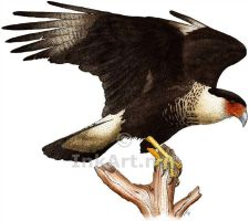 Crested Caracara by rogerdhall