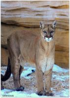 Cross-Eyed Cougar by SilkenWinds