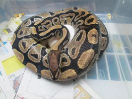 2014 Ball Python Clutch #2 by ReptileMan27