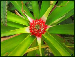 Pineapple's flower by GCOLIVERA