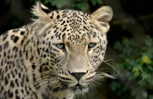 Nordhorn - Persian Leopard 3 by Shitani