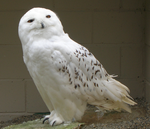 Male Snowy Owl by flippytiger