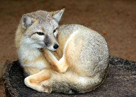 Swift Fox Lost in Thought by Jack-13