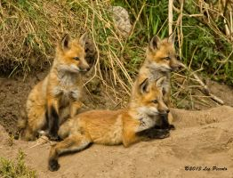 Fox Kits 2 by Les-Piccolo
