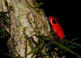 Poison Dart Frog by lynsea