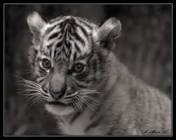 Tiger cub by Lilia73